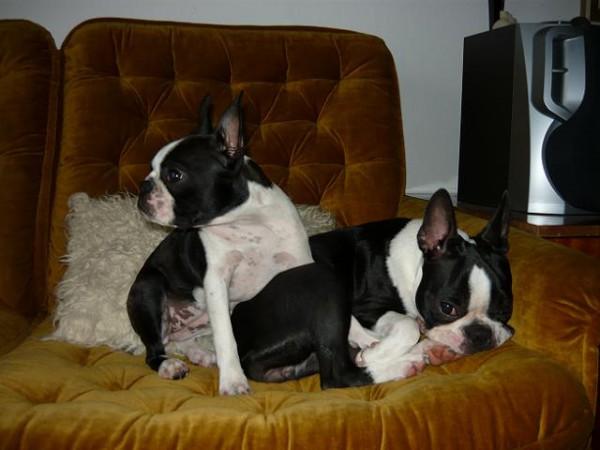 509999a2db3 Úvod - Bostonský teriér - Boston terrier - CHS Aeibs